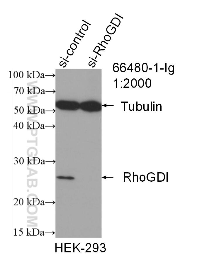 WB analysis of HEK-293 using 66480-1-Ig