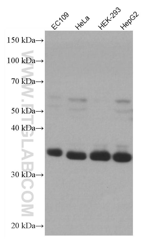 WB analysis using 66958-1-Ig
