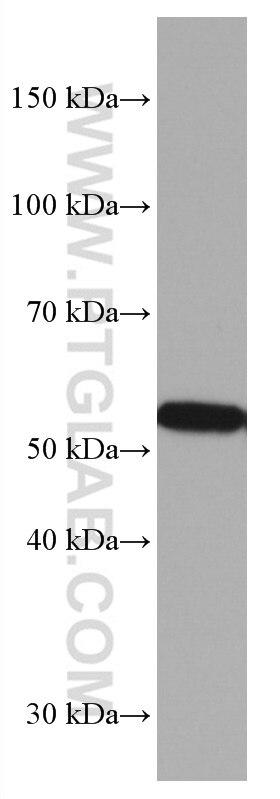 WB analysis of rat cerebellum using 67092-1-Ig