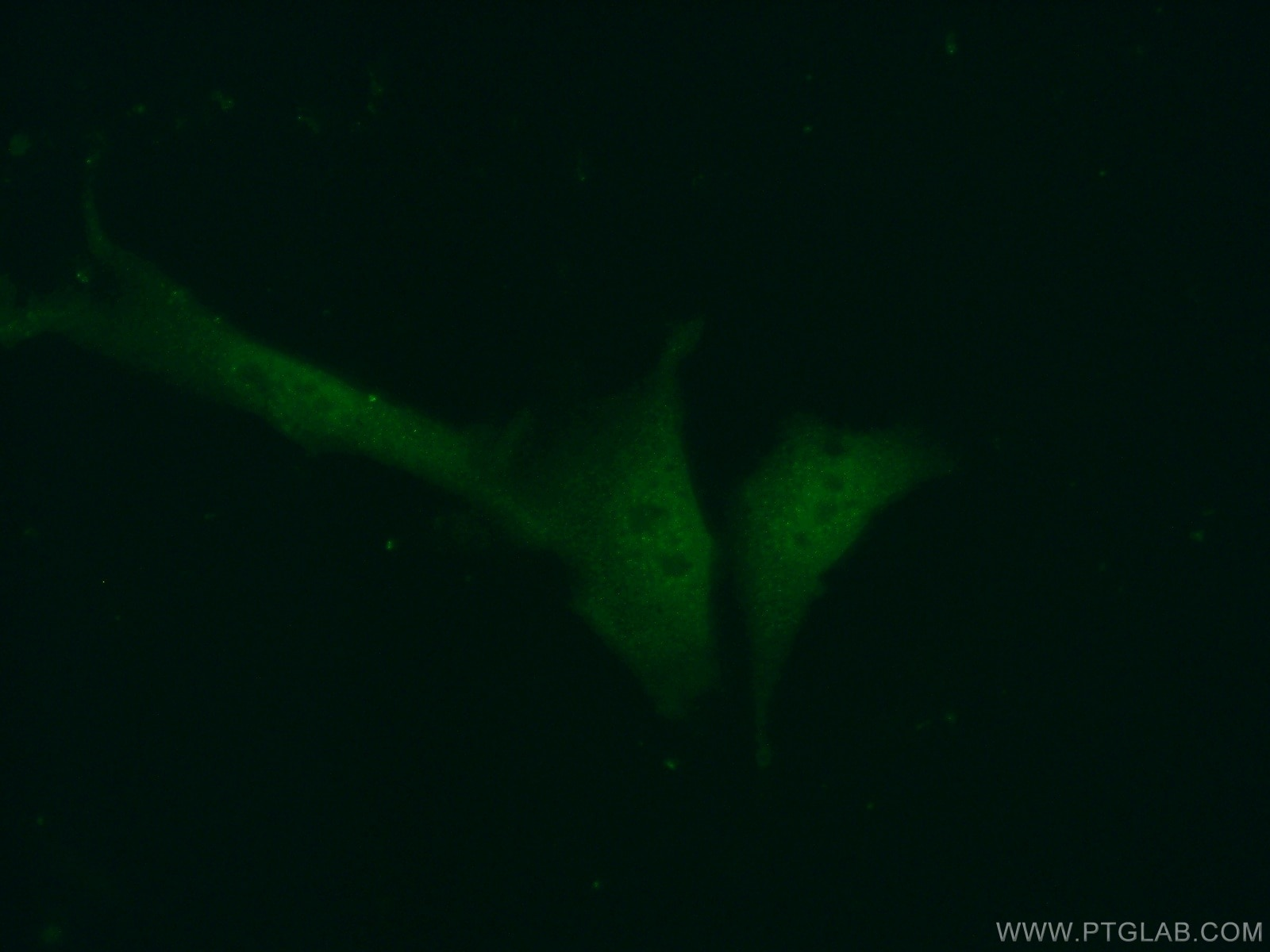 IF Staining of NIH/3T3 using 22259-1-AP