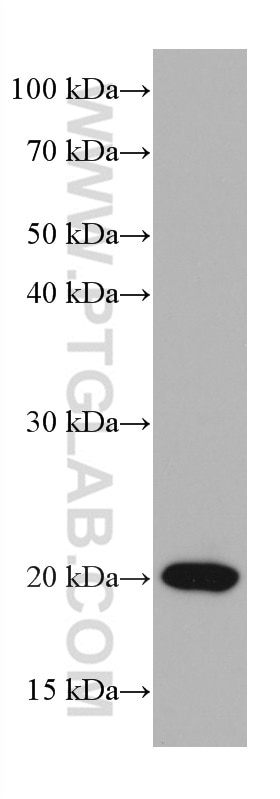 WB analysis of Jurkat using 66884-1-Ig