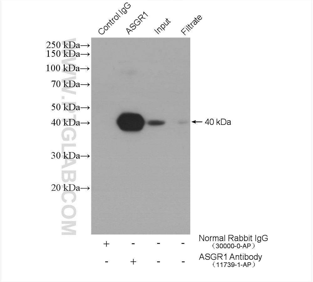 IP experiment of mouse liver using 11739-1-AP
