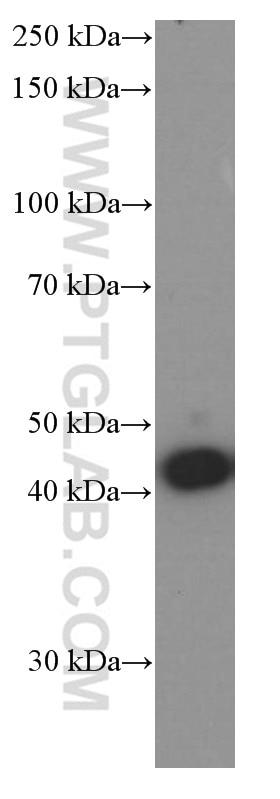 WB analysis of rat brain using 66346-1-Ig