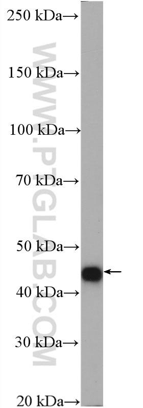 WB analysis of L02 using 27467-1-AP