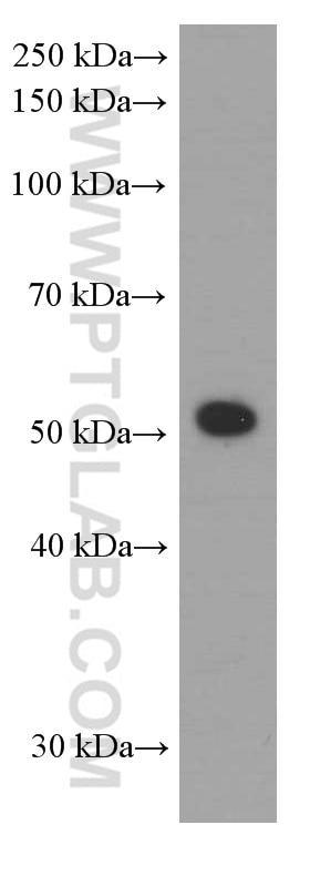 WB analysis of K-562 using 60061-1-Ig