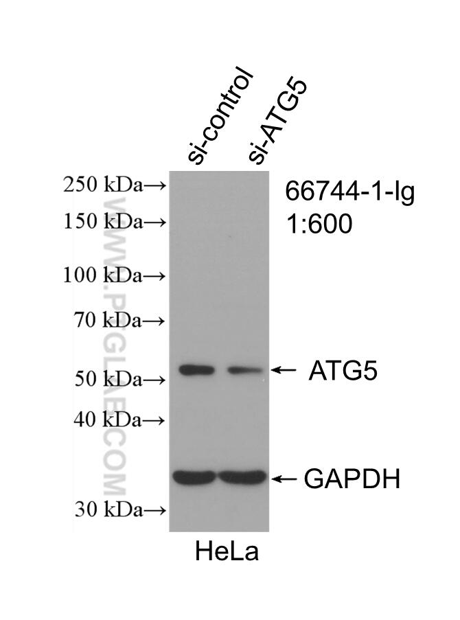 WB analysis of HeLa using 66744-1-Ig