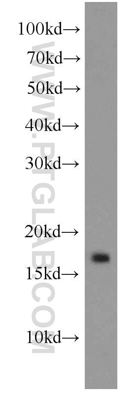 GABARAPL1-Specific
