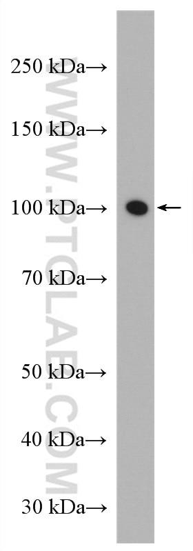 WB analysis of C2C12 using 10868-1-AP