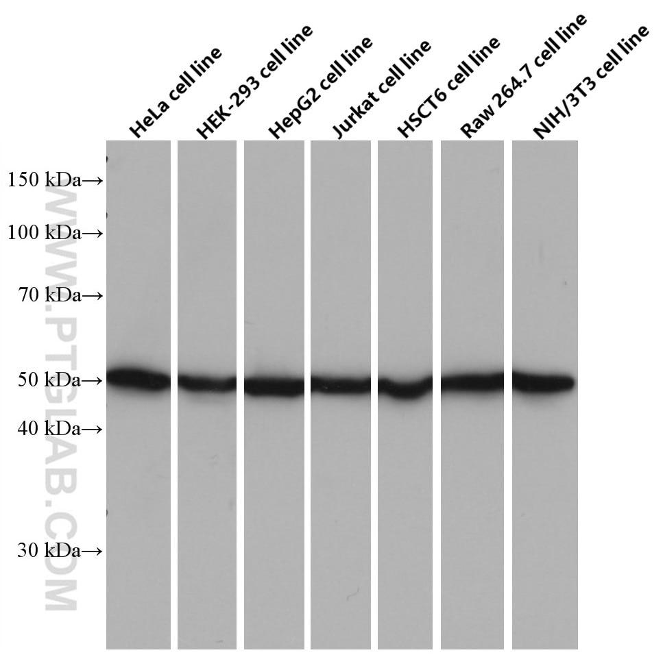 WB analysis using 66600-1-Ig