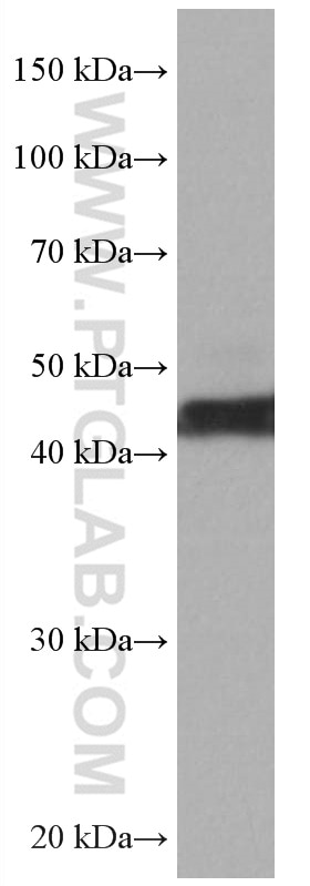 WB analysis of MCF-7 using 67057-1-Ig