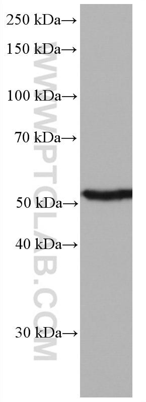 WB analysis of human testis using 66757-1-Ig