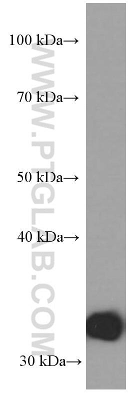 Annexin V Monoclonal antibody