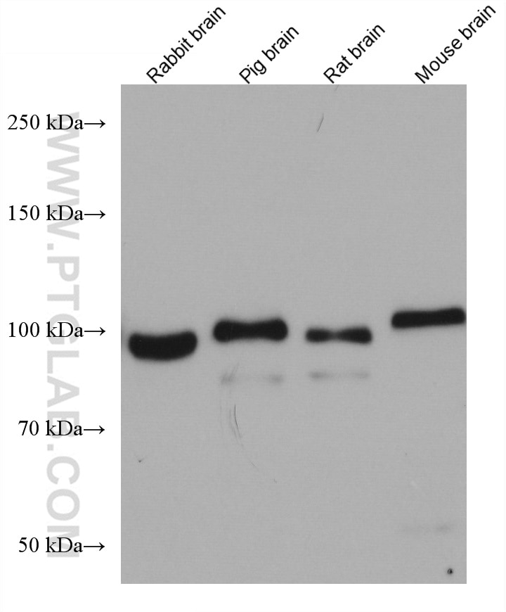 WB analysis using 66762-1-Ig