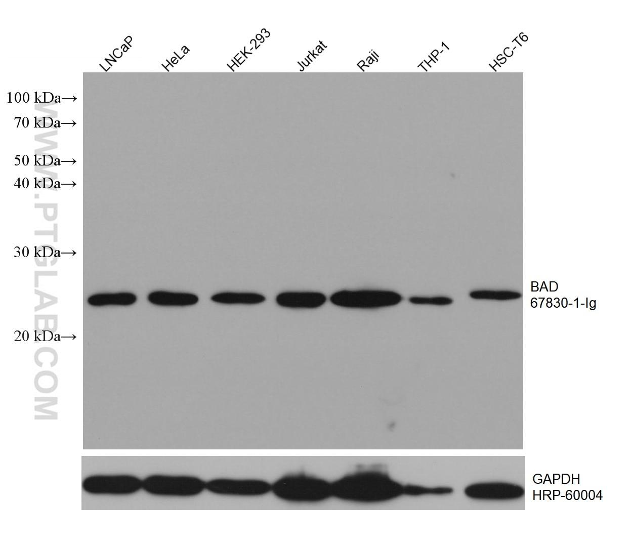 WB analysis using 67830-1-Ig