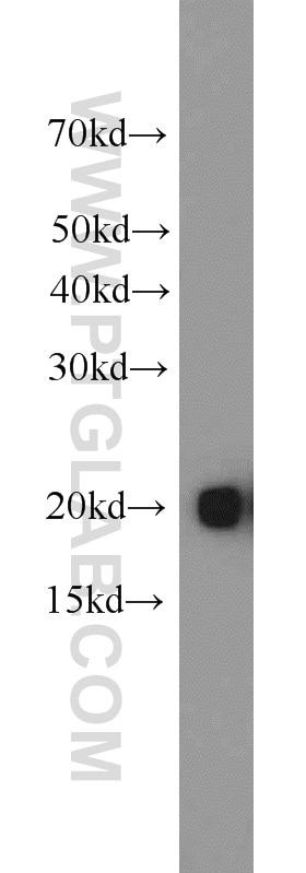 BAX Polyclonal antibody