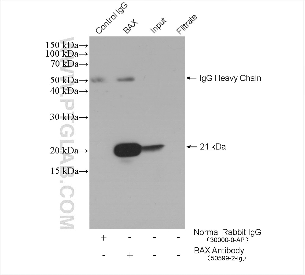 IP experiment of Raji using 50599-2-Ig