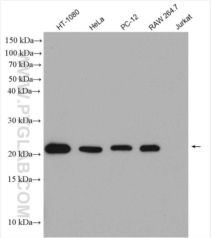 WB analysis using 50599-2-Ig