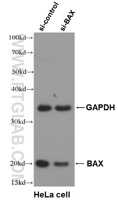 WB analysis of HeLa cells using 50599-2-Ig