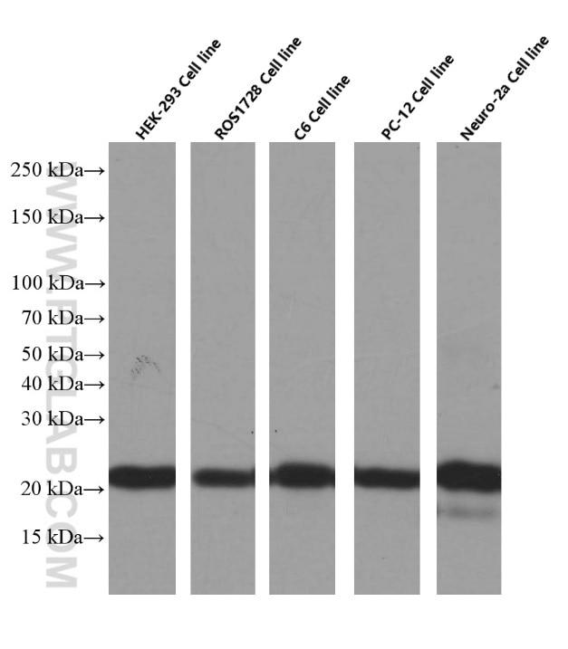 BAX Monoclonal antibody