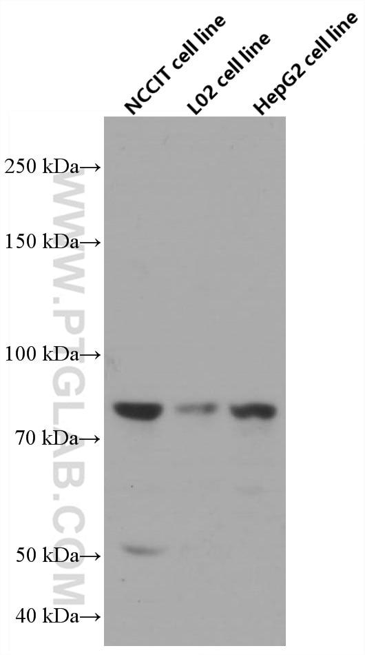 WB analysis using 66679-1-Ig