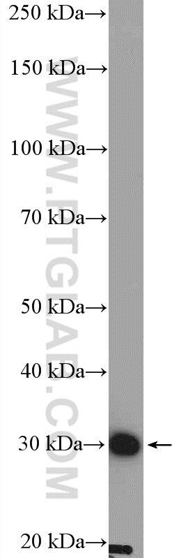 WB analysis of K-562 using 17732-1-AP