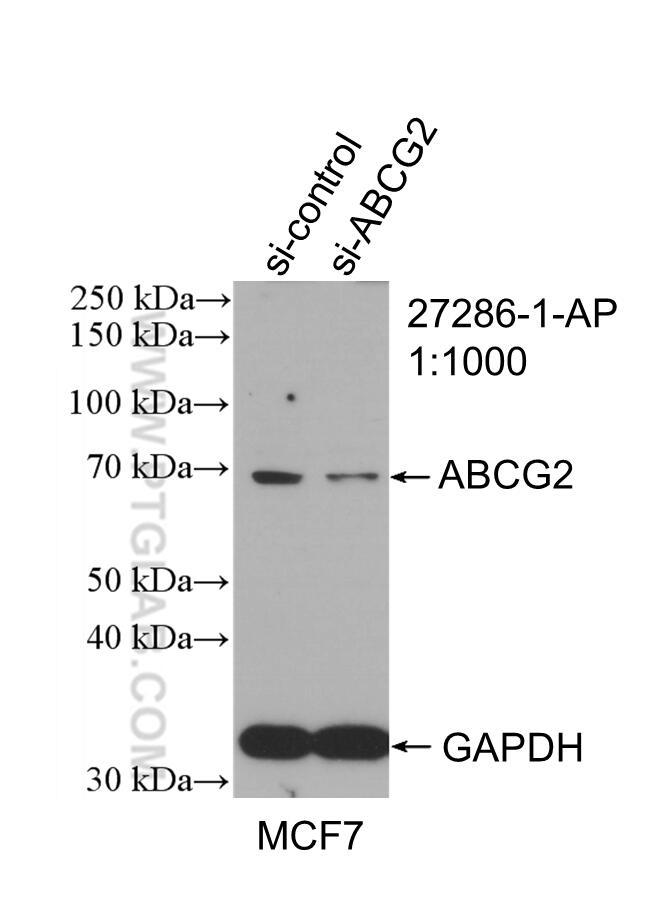 WB analysis of MCF-7 using 27286-1-AP