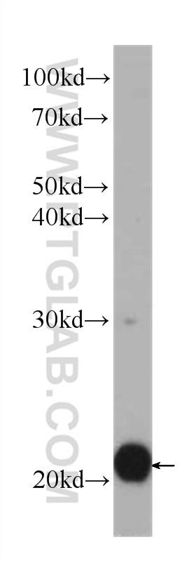 WB analysis of Jurkat using 60301-1-Ig