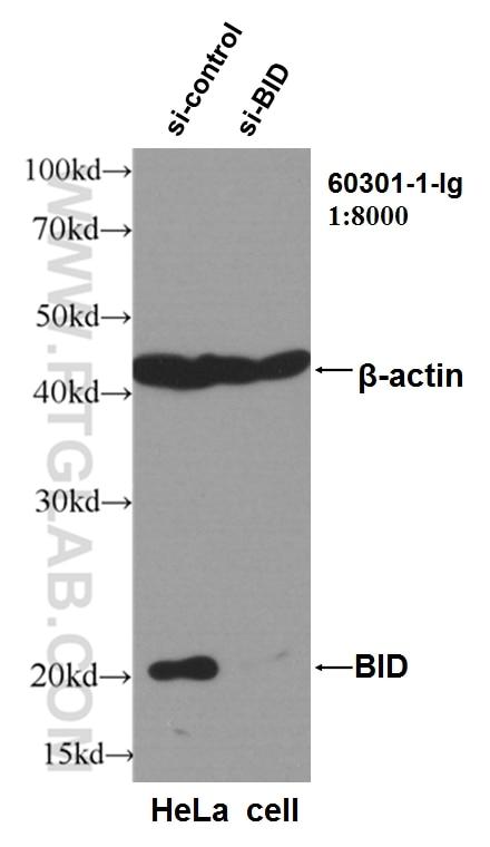 WB analysis of HeLa using 60301-1-Ig