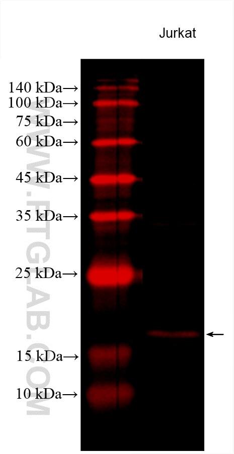 WB analysis using CL594-60301
