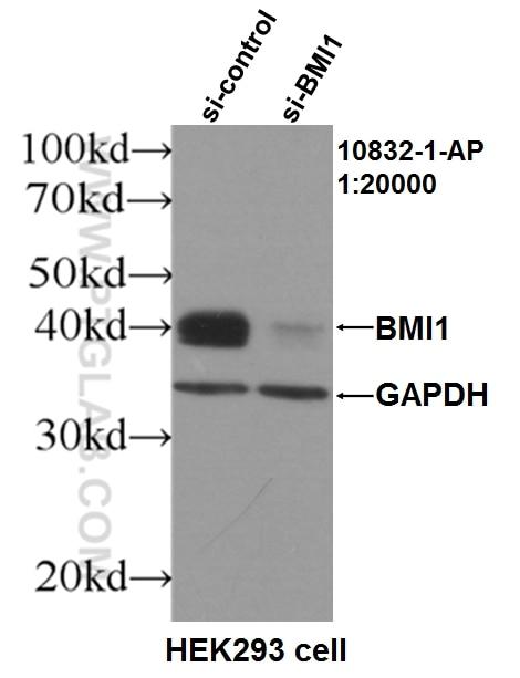WB analysis of HEK-293 using 10832-1-AP