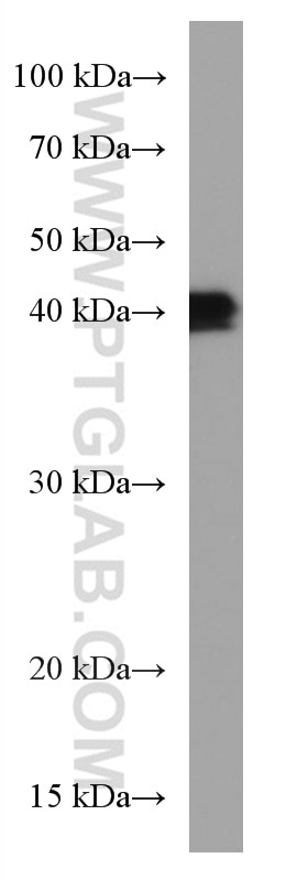 WB analysis of PC-12 using 66161-1-Ig