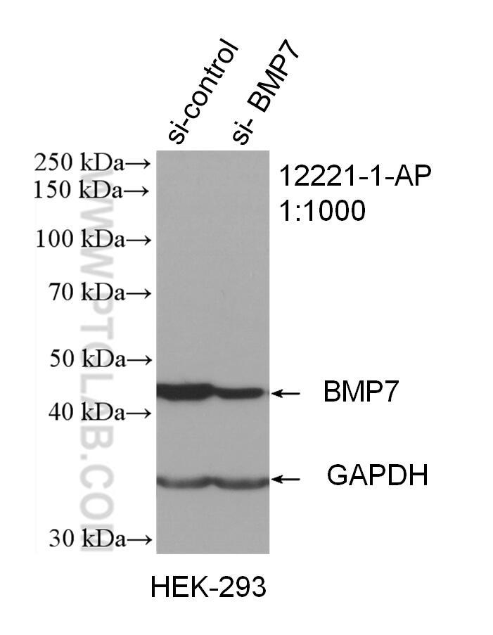 WB analysis of HEK-293 using 12221-1-AP