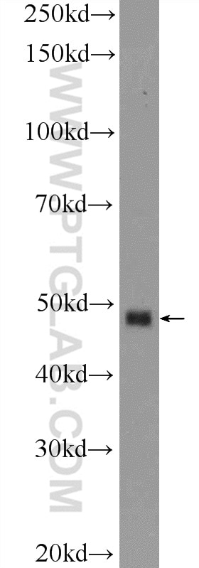 BMP7 Polyclonal antibody
