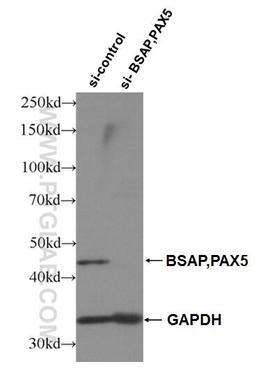 WB analysis of Raji using 26709-1-AP