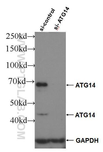 WB analysis of HeLa using 24412-1-AP