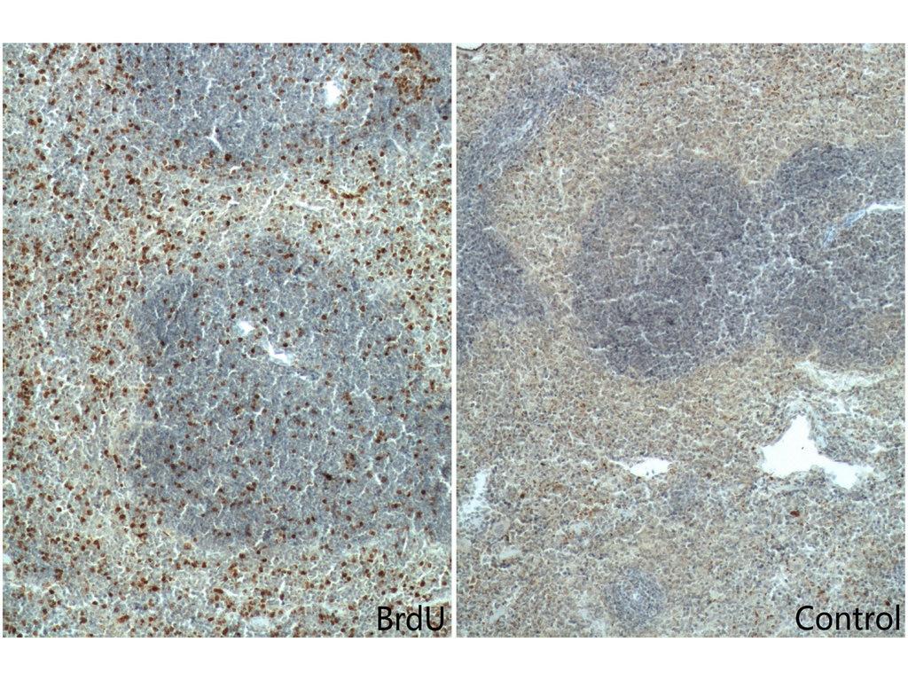 IHC staining of mouse spleen using 66241-1-Ig