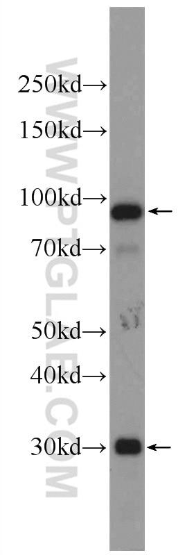 C1R Polyclonal antibody
