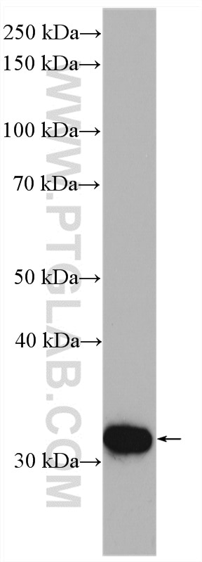 WB analysis of mouse testis using 13342-1-AP
