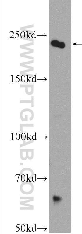 WB analysis of HEK-293 using 16617-1-AP