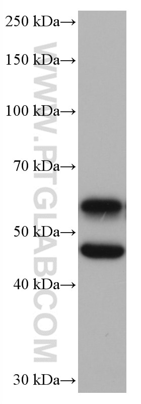 WB analysis of mouse brain using 66843-1-Ig