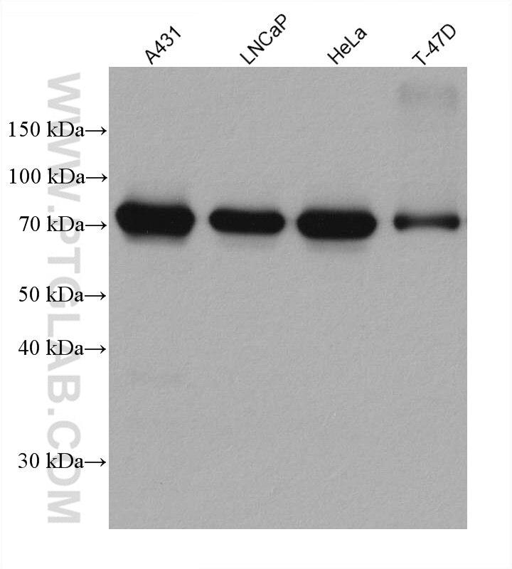 WB analysis using 67732-1-Ig