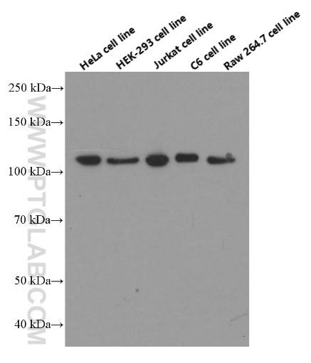 CAPRIN1 Monoclonal antibody