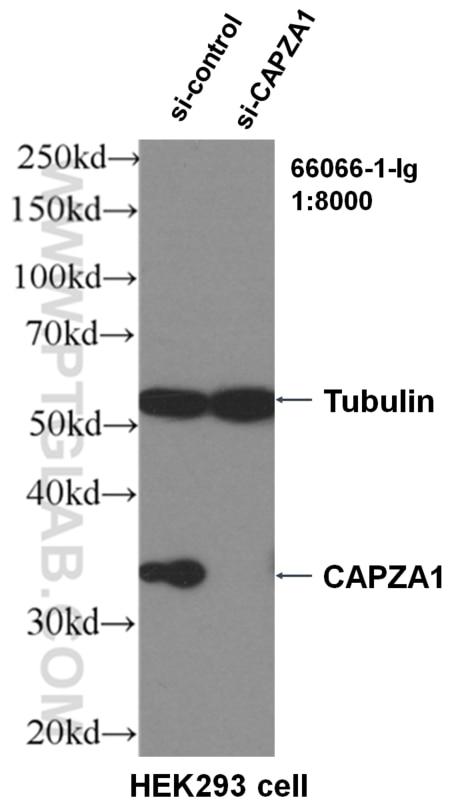 WB analysis of HEK-293 using 66066-1-Ig
