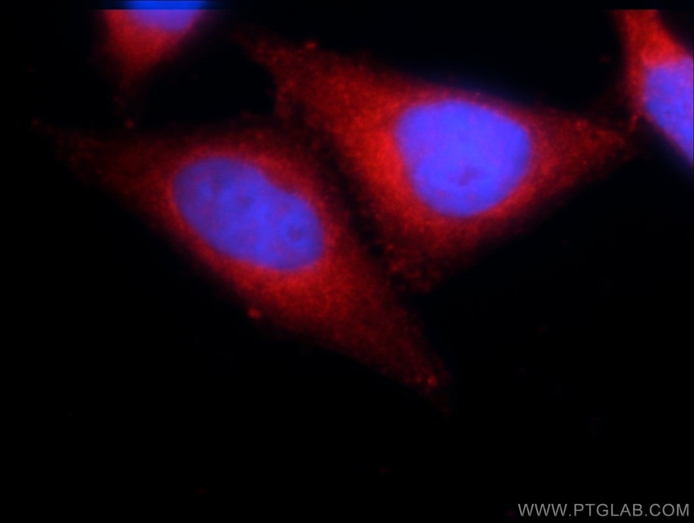 IF Staining of L02 using 21741-1-AP