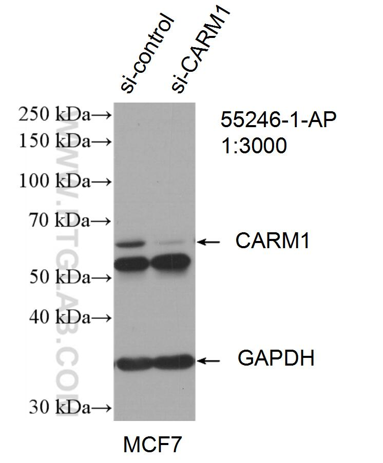 WB result of CARM1 antibody (55246-1-AP; 1:3000; incubated at room  temperature for 1.5 hours) with sh-Control and sh-CARM1 transfected MCF-7  cells