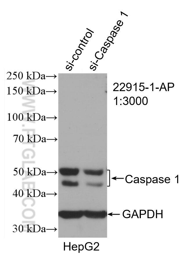 WB analysis of HepG2 using 22915-1-AP