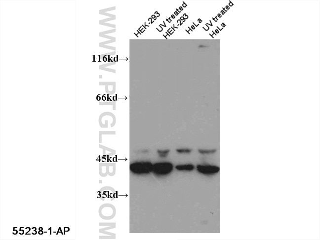 WB analysis of multi-cells using 55238-1-AP