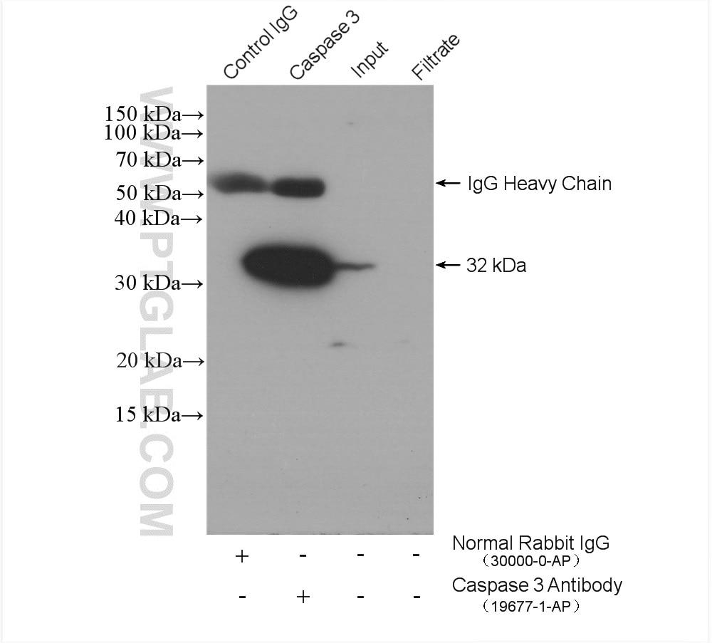 IP experiment of NIH/3T3 using 19677-1-AP