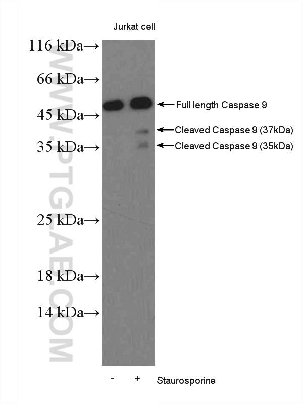 10380-1-AP;Staurosporine treat Jurkat cells