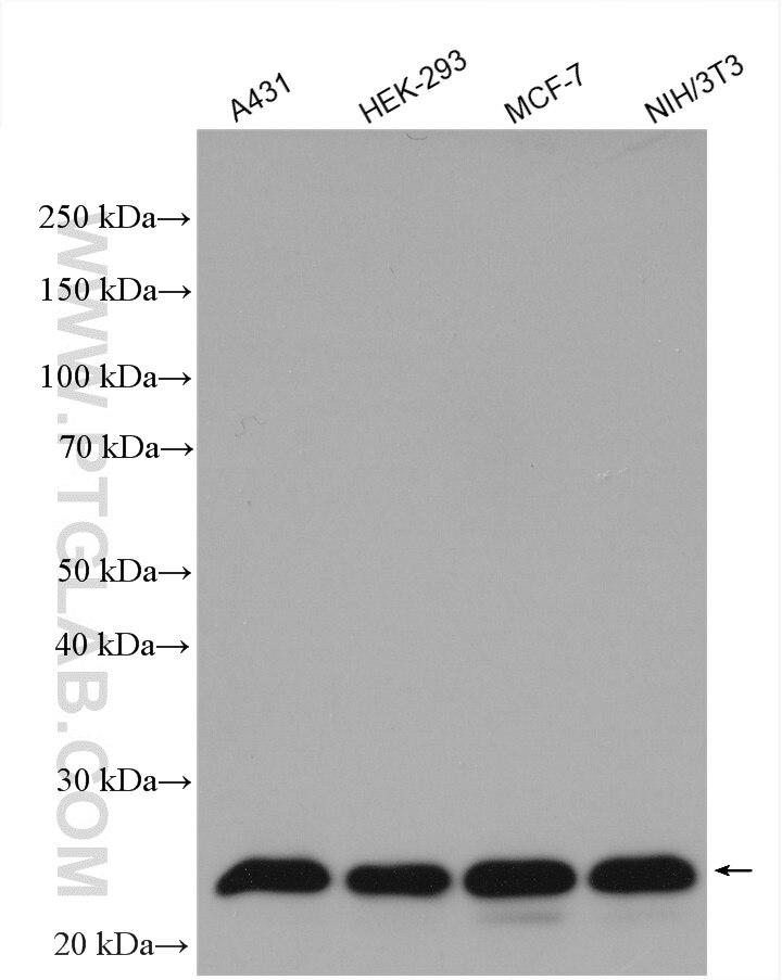 WB analysis using 10241-2-AP